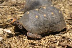 Želva uhlířská