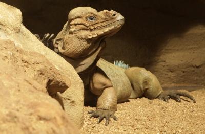 Leguán nosorohý