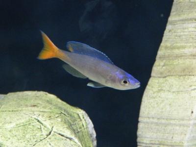 Sardine Cichlid