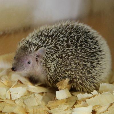 Lesser Hedgehog