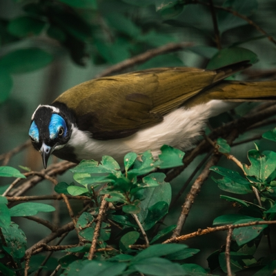 Blue–faced Honeyeater