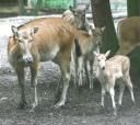 Père David's Deer
