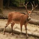 Pere David´s Deer