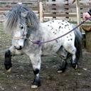 Kůň domácí - mini appaloosa