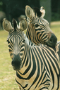 Chapman´s Zebra