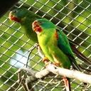 Papoušek vlaštovčí