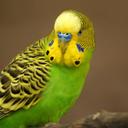 Andulka (papoušek vlnkovaný)