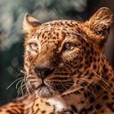 Levhart cejlonský