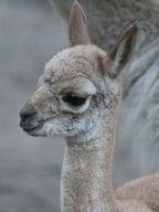 Lama vikuňa