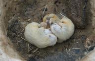 Rosomák sibiřský