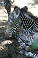 Zebra Grévyho