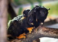 Tamarín žlutoruký
