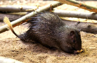 African Brush-tailed Porcupine