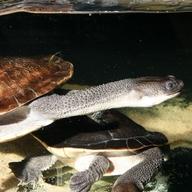 Roti Island Snake-necked Turtle