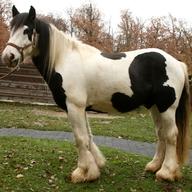 Kůň domácí - irský cob