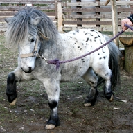 Kůň domácí - miniappaloosa