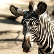 Grevy´s Zebra