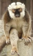 White-fronted Brown Lemur