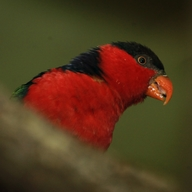 Black–capped Lory