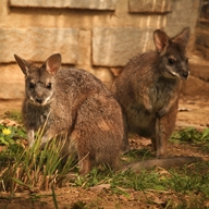 Parma kangaroo