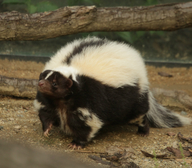 Skunk pruhovaný