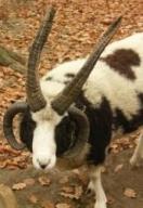 Ovce domácí - Jákobova