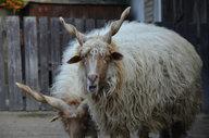 Hungarian Screw-horned Sheep