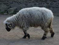 Ovce domácí - walliská