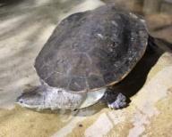 Geoffroy's Toadhead Turtle