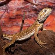 Black-soil Bearded Dragon