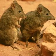 Klokánek krysí