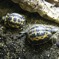 Želva pavoukovitá