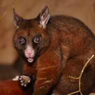 Common Brush-tailed Possum