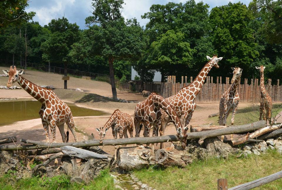 Zoo Weekly Calendar : World giraffe day zoo brno