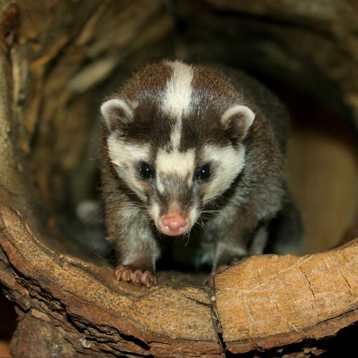 Javan Ferret-Badger
