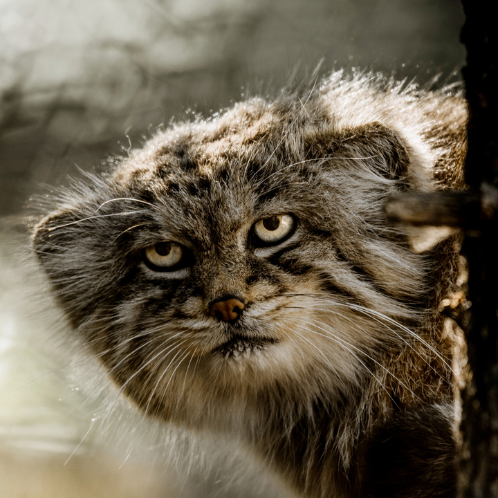 africký velký kočička com