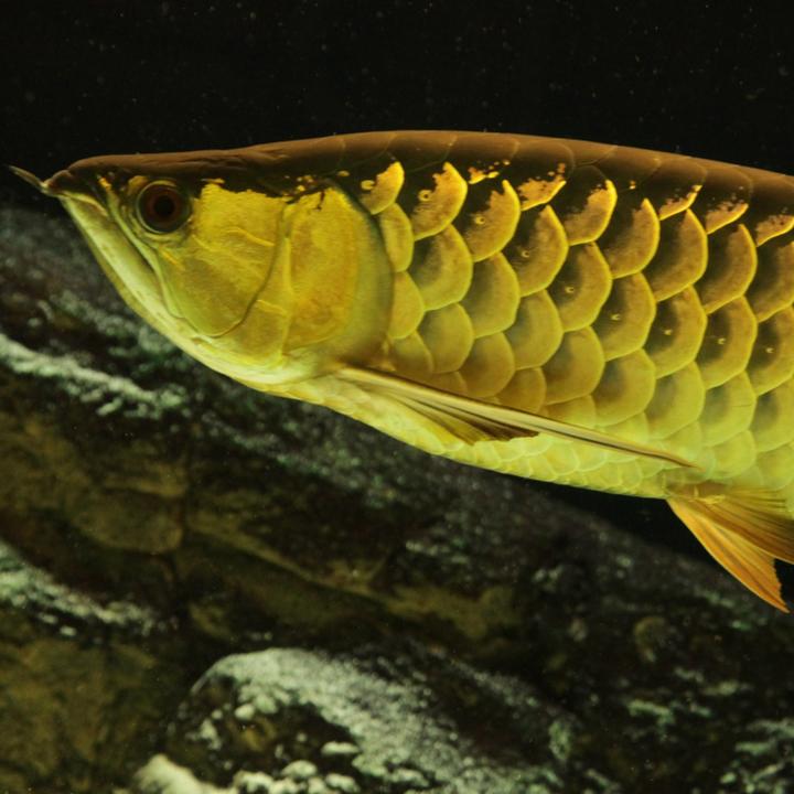 Golden asian arowana